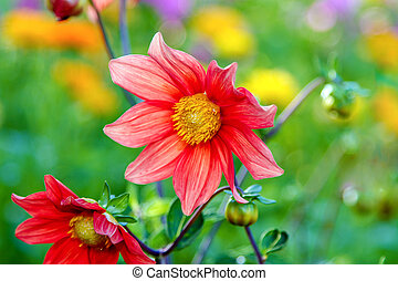flower red dahlia with yellow center