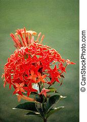 flower red orissa india 1