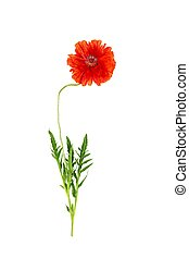 flower red poppy isolated on white background close-up top view