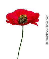 flower red poppy isolated on white background