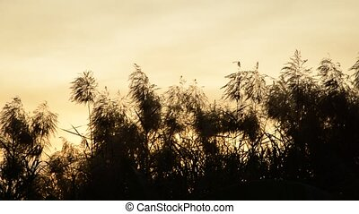 flower reed grass flowing from wind blow on sunset sky