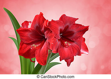 flower., rojo, amaryllis