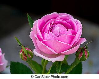flower., roos, damast, roze