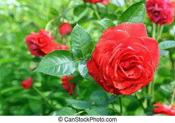 Flower Rose in garden