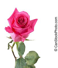 Flower rose with green stalk insulated on white background