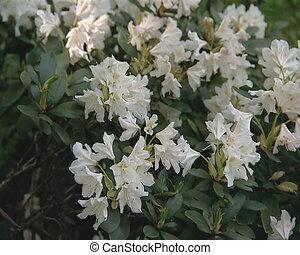 flower roseby white bloom