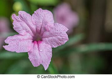 Flower (Ruellia, Dwarf Mexican Petunia Flower)