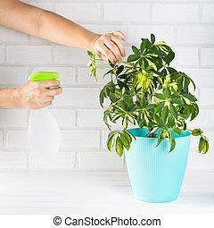 Flower schefflera in pot on white bricks wall background. Hand with spray, irrigation.