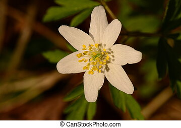 flower snowdrop white in the light