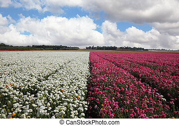 A vast field of white and purple flowers