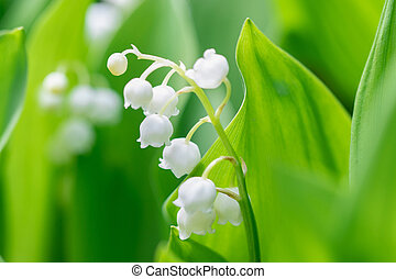 Flower Spring Lily of the valley in a garden