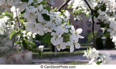 flower - apple flower