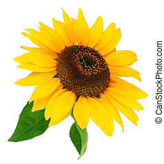 Flower sunflower with green leaf