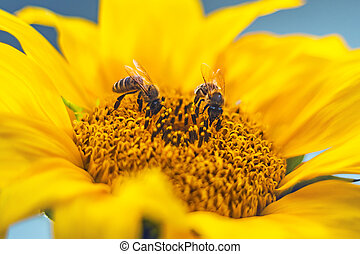 Flower sunflower with pollinating bees