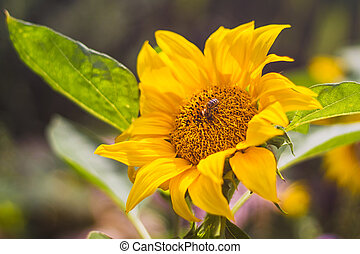 Flower sunflower with pollinating bees, green leaves