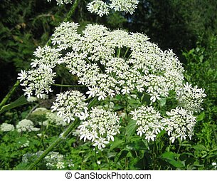Flower top design - This variety of plant is the Stinkweed, ...