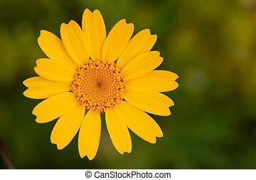 flower., up, zbabělý, sedmikráska, uzavřít, názor