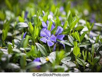 flower vinca minor - Periwinkle (Vinca minor) small plants ...