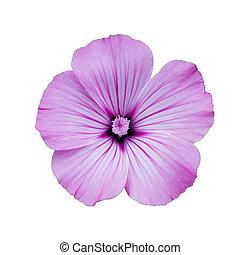 Flower, white isolated background.