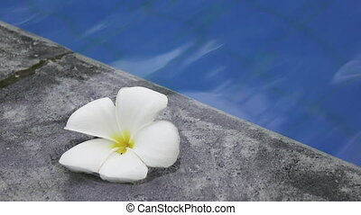 flower white Plumeria franzhipan floats in pool water in the...