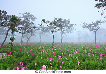 flower Wild siam tulips blooming in the jungle in Chaiya...