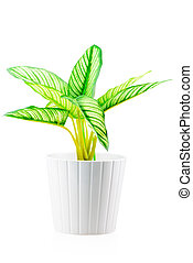 flower with green leaves in a white pot isolated