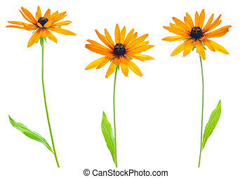 flower yellow coneflower the isolated - four flower yellow...