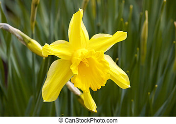 Flower Yellow daffodil