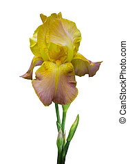 flower yellow iris isolated on white background