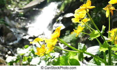 Flower yellow waterfall - Waterfall with yellow daffodil...