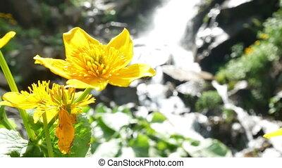 Flower yellow waterfall - Waterfall with yellow daffodil...