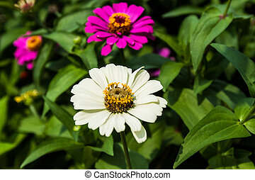 Flower zinnia of lilac color