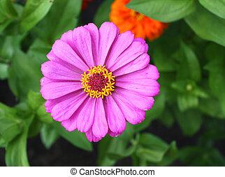 Flower zinnia