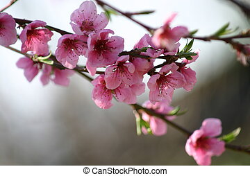 flower1, brzoskwinia