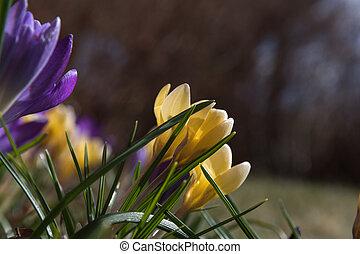 flowerbed, closeup, açafrão