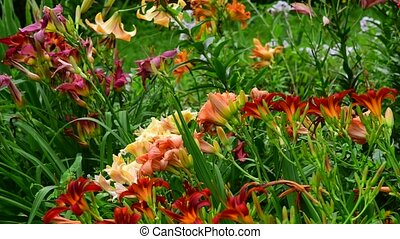 flowerbed fragment with a different varieties of lilies -...