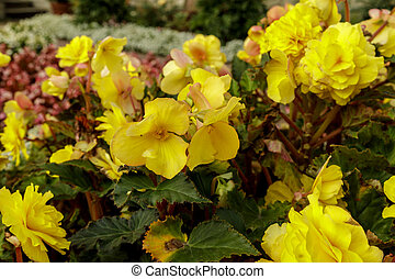 Flowerbed of bright yellow flowers and green leaves. Colorful garden bed.