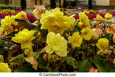 Flowerbed of bright yellow flowers. Colorful garden bed. Botany photography.