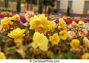 Flowerbed of bright yellow flowers. Colorful garden bed. Tilt-shift effect photo. Shallow depth of field. Botany photography.