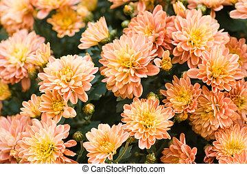 flowerbed of chrysanthemum - flowerbed of orange and yellow...