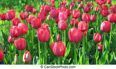 Flowerbed of delicate red tulips under summer sky