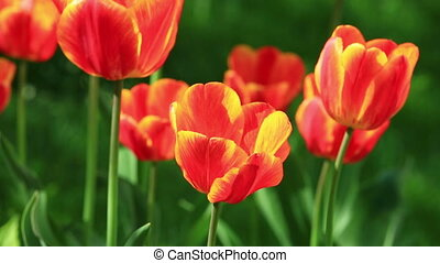 Flowerbed of delicate red tulips under summer sky - Flower...