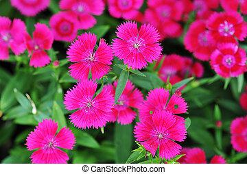 Flowerbed of Dianthus barbatus (Sweet William)