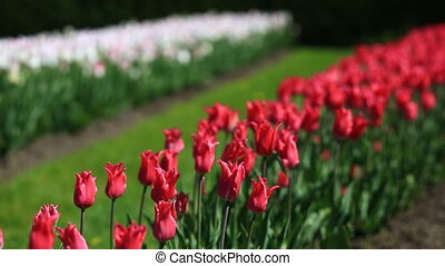 Flowerbed of many fresh red, white and pink tulips flowers in city park.