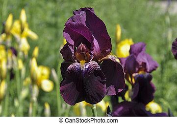 Flowerbed of purple iris in a garden