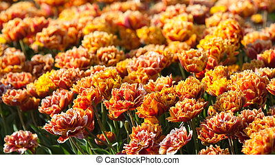 Flowerbed of special tulips
