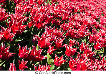 Flowerbed of tulips of red color