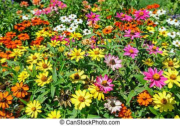 flowerbed of Zinnia flower in garden