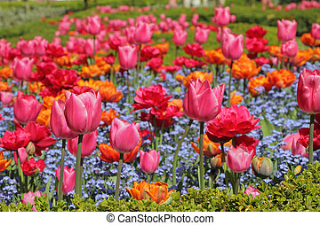 flowerbed with colorful tulips and forget-me-not flowers