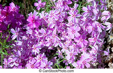 Flowerbed with pink phlox flowers